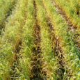 Cereal rye is a cover crop workhorse. It can help scavenge nitrogen, protect against erosion,fight weeds, and provide forage. It also can be planted later in the year than many […]