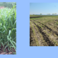 An Iowa Learning Farms estimate showed Iowa farmers planted 623,700 total acres of cover crops in 2016, a 32% increase compared to 2015. However, one of the scenarios in the […]